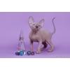 Эльф, Двэльф, бамбино, сфинкс, белый разноглазый котёнок-ни блох тебе, ни шерсти... .
