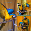 Сине желтый ара (ara ararauna) - ручные птенцы из питомника