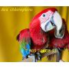Зеленокрылый ара (Ara chloroptera)  -  ручные птенцы из питомника