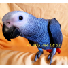 Жако - ручные птенцы из питомника